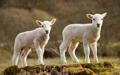 """Un problema """"subdolo""""  e """"costoso"""": Coccidiosi e Cryptosporidiosi nei vitelli, bufaletti, agnelli e capretti da ristallo"""